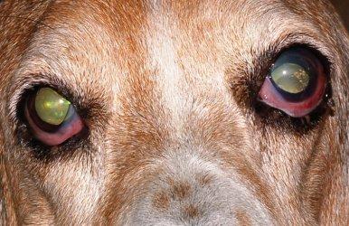 d9ee74f4172e8 O glaucoma é caracterizado por um aumento na pressão intra-ocular,  decorrente de má formação ou obstrução do ângulo de drenagem  bloqueio  pupilar e luxação ...